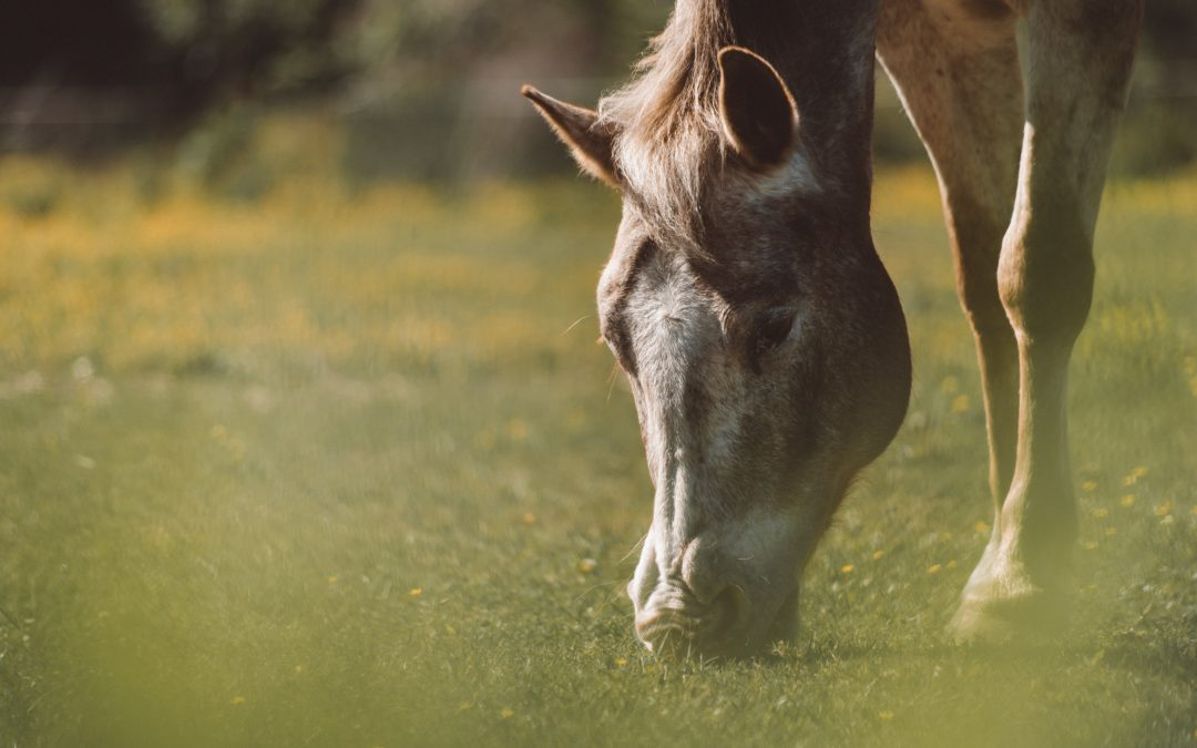 Laminitis kod konja je češći nego što mislite